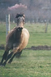 Crystal - Connemara Pony