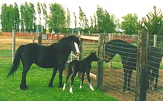 Evans Black Lace with Lou and Kitty Hawk - Section B Welsh Ponies