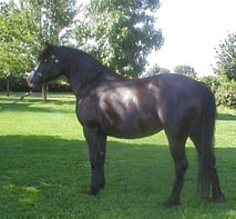 Evans Black Lace - Section B Welsh Pony